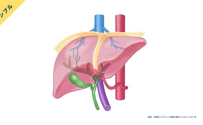 【サンプル】肝臓