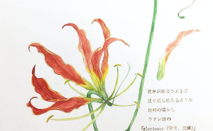 植物図譜グロリオサ