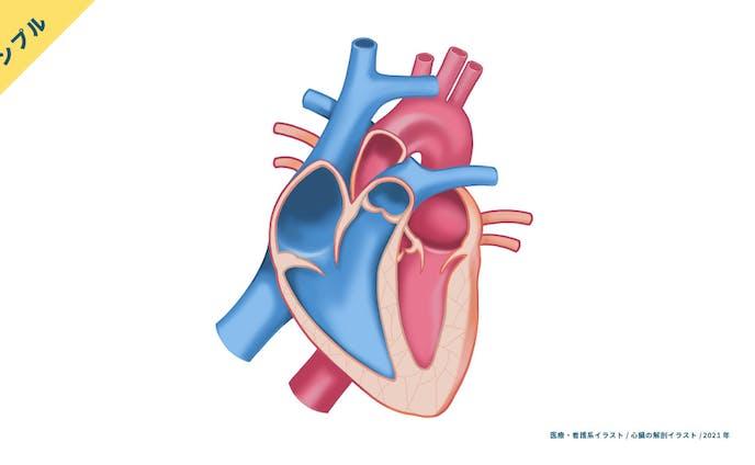 【サンプル】心臓