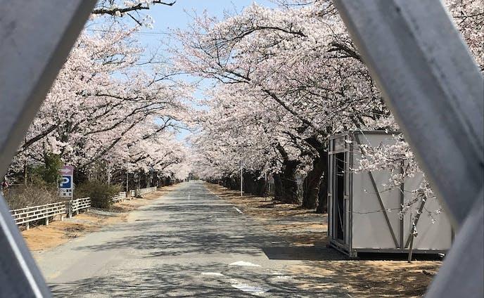 【ニュース】映画Fukushima50のロケ地、富岡町夜の森の桜が満開 SNSでの桜公開も(いわき経済新聞)