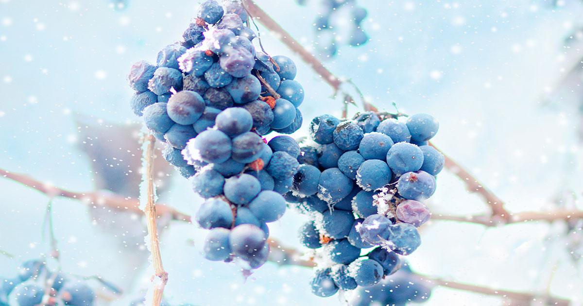 極上の甘口! アイスワインとはどんなお酒? おいしい飲み方や選び方も紹介! | イエノミスタイル 家飲みを楽しむ人の情報サイト